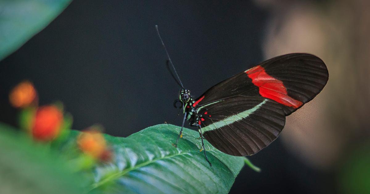 Пеперутката наречена Поштар  (Heliconius Melpomene)